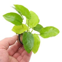 ANUBIAS BARTERI NANA Golden in vasetto, pianta...