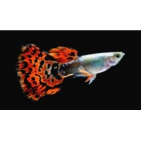 Guppy maschio snakeskin cobra red, Poecilia...