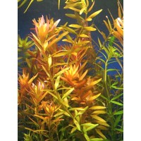 ROTALA orange juice (PIANTA ROSSA)