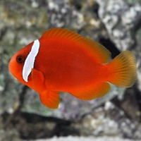 Amphiprion Frenatus - Tomato Clownfish - Pesce...