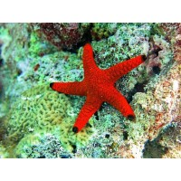 Fromia indica black tip red starfish 8 cm -...