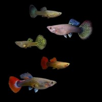 Guppy femmine multicolor mix, Poecilia reticulata...