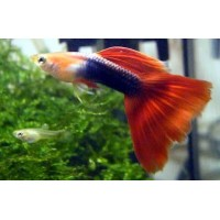 Guppy maschio H/B red, Tuxedo red Poecilia...