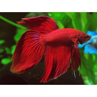 Betta splendens veiltail red, pesce combattente...