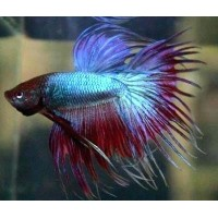 Betta splendens crowntail, pesce combattente...
