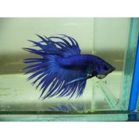 Betta splendens crowntail blue, pesce combattente...