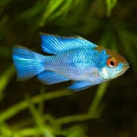 Mikrogeophagus ramirezi Electric Blue RAM 3-5 cm...