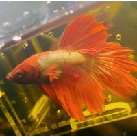 Betta splendens Combtail Red-Gold - FOTO REALE -...