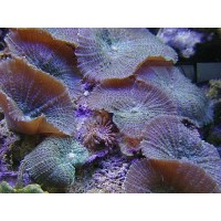 Discosoma sp Green - Bordeaux - Corallo molle facile - 1 disco su frag