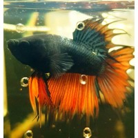 Betta splendens Crowntail Blue-Red junior - FOTO REALE - pesce...