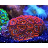 Acanthastrea Lordhowensis Red - Corallo duro LPS facile - frag 6-8 cm