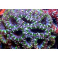 Acanthastrea Lordhowensis Green - Corallo duro LPS facile - frag 6-8 cm